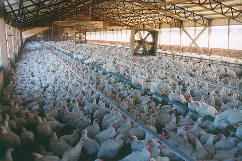 cage-free conventional chicken factory