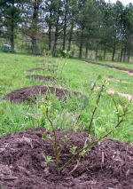 row of new blueberry plants