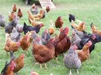 true free-ranging chickens